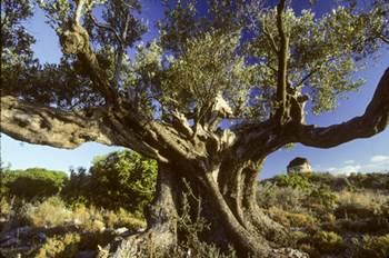 olivenblattextrakt, olivenblattextrakt bester