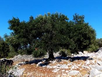 olivenblattextrakt cholsterin, olivenblattextrakt übergewicht, olivenblattextrakt candida
