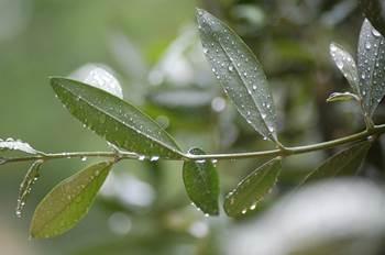 olivenblätter antioxidantien, olivenblätter bluthochdruck, cholesterienspiegel, ölbaum