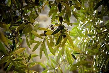 olivenblattextrakt übergewicht, olivenblattextrakt bluthochdruck, olivenblätter krebs