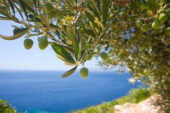 bio olivenblatt tee kaufen, bio olivenblätter