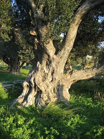 olivenblattextrakt übergewicht, olivenblattextrakt bluthochdruck, olivenblätter energie